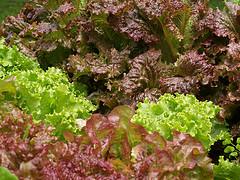 Lettuce by Cara on Flickr
